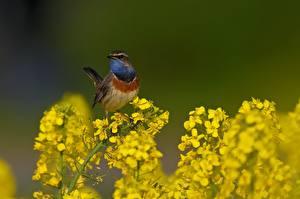 Hintergrundbilder Raps Vögel Unscharfer Hintergrund Luscinia svecica Tiere