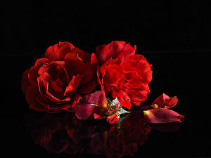 Wallpaper Roses Black background Two Red Petals Flowers