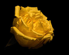 Pictures Rose Closeup Black background Yellow flower