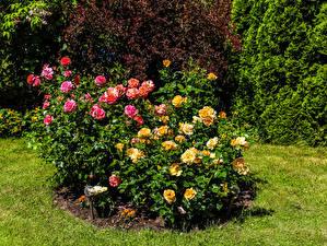 Bakgrunnsbilder Rosa Busker blomst