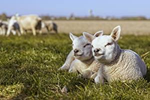 Picture Sheep Cubs Grass White Laying Blurred background