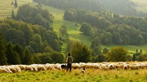 Fotos Hausschaf Grünland Herde Tiere