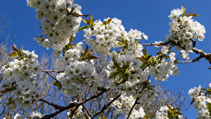 Wallpaper Spring Flowering trees Closeup Branches Apple tree Nature