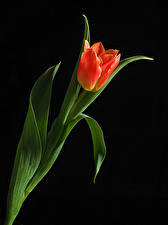 Image Tulip Closeup Black background Red flower