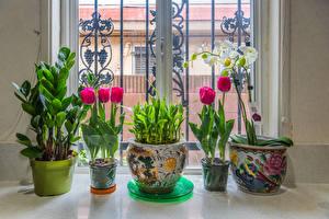 Bilder Tulpen Orchidee Fenster Blumentopf Blüte
