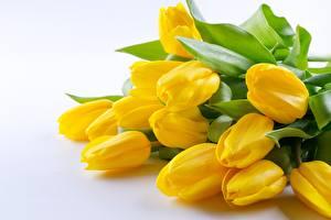 Hintergrundbilder Tulpen Gelb Blüte