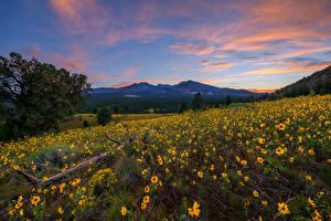 Fotos Vereinigte Staaten Berg Abend Sonnenblumen Hügel Bäume Flagstaff, Arizona Natur