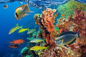 Fonds d'écran Monde sous-marin Poisson Corail un animal