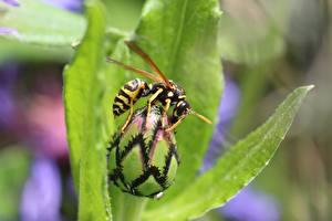 Hintergrundbilder Wespen Insekten Hautnah Unscharfer Hintergrund ein Tier