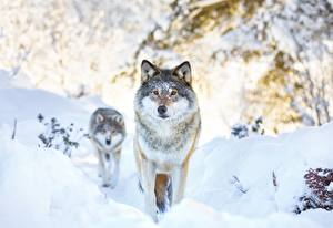 Picture Wolf Winter Snow 2 animal