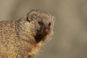 Fotos Grauer Hintergrund Schnauze Starren Banded Mongoose ein Tier