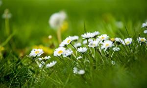 Hintergrundbilder Gänseblümchen Gras Bokeh Natur