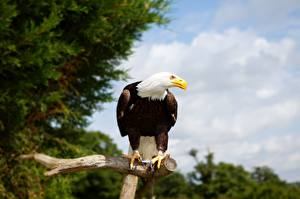 Photo Bird Eagle Bald Eagle Branches Glance
