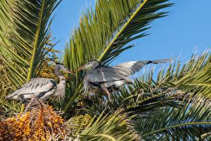 Hintergrundbilder Vogel Reiher Zwei Schnabel Ast Great Blue Herons Tiere