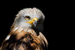 Fotos Vögel Schwarzer Hintergrund Schnabel Red Kite Tiere