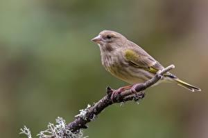 Fotos Vögel Ast Spinus spinus ein Tier