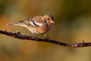 Bilder Vogel Ast Unscharfer Hintergrund chaffinch ein Tier