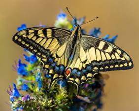 Bilder Schmetterling Großansicht Papilio machaon ein Tier
