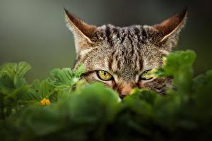 Hintergrundbilder Hauskatze Starren Schnauze ein Tier