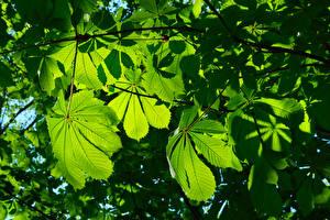 Hintergrundbilder Kastanien Blatt Ast Natur