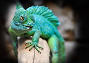 Fotos Hautnah Bokeh Blick Echsen Pfote Basilisk lizard Tiere