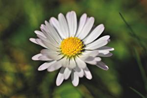 Photo Closeup Matricaria Blurred background White flower