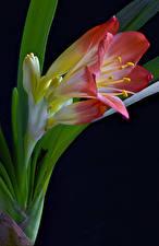Bilder Großansicht Schwarzer Hintergrund Clivia Blumen