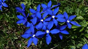 Fotos Hautnah Blau Gentiana Blüte