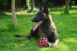 Bilder Hund Gras Ball Hinlegen Zunge Shepherd Dutch shepherd Tiere