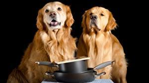 Fotos Hunde Golden Retriever 2 Schwarzer Hintergrund Blick Tiere