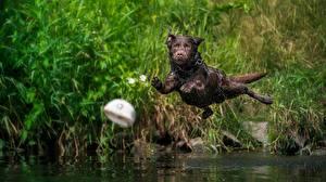 Bureaubladachtergronden Honden Springend Natte Vliegende Labrador retriever Dieren