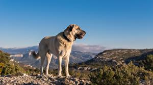 Fotos Hund Berg Shepherd Kangal