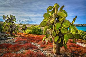 Fotos Ecuador Kakteen HDR Opuntia, South Plaza Island, Galapagos Islands