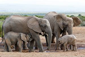 Image Elephant Cubs Family animal