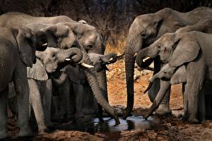 Pictures Elephants Cubs Herd Drinking water Animals
