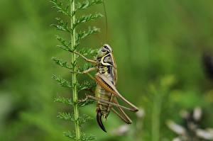 Fotos Heuschrecken Insekten Nahaufnahme Bokeh Tiere