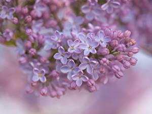 Pictures Syringa Closeup Petals Blurred background