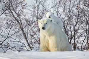 Fotos Mutter Jungtiere Ein Bär Eisbär Schnee ein Tier