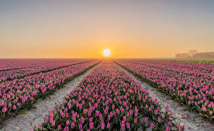 Pictures Netherlands Fields Sunrises and sunsets Tulips Many Goeree-Overflakkee flower Nature