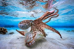 Fotos Kraken Unterwasserwelt Sand ein Tier