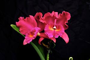 Bilder Orchideen Hautnah Schwarzer Hintergrund Rosa Farbe
