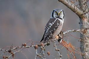 Fotos Eule Vogel Starren Ast northern hawk-owl