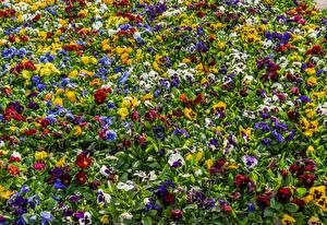 Bilder Ackerveilchen Viel Mehrfarbige Blüte