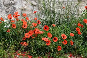 Bilder Mohnblumen Viel Blumen