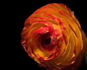 Hintergrundbilder Ranunkel Hautnah Schwarzer Hintergrund Blüte