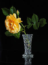 Images Rose Black background Vase Flower-bud Yellow flower