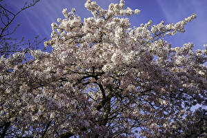 Photo Spring Flowering trees Branches Cherry blossom Nature