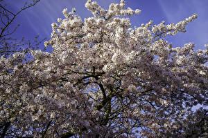 Bilder Frühling Blühende Bäume Ast Japanische Kirschblüte Natur