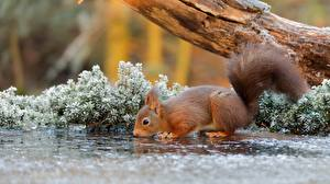 Images Squirrels Drinking water Ice Animals