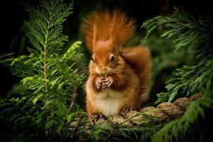 Fotos Hörnchen Nagetiere Orange rot ein Tier